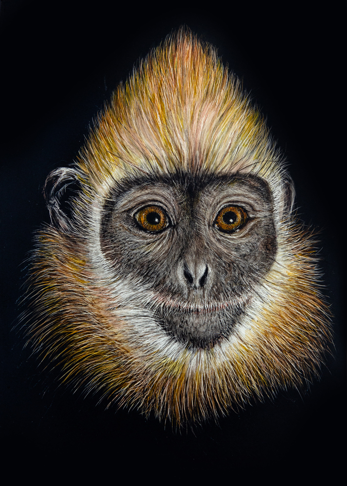 Golden Crested Langur