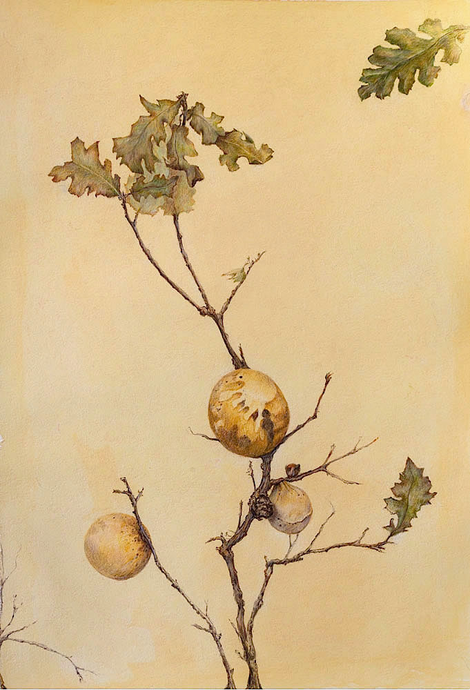 Oak Gall (Vertical) - 2